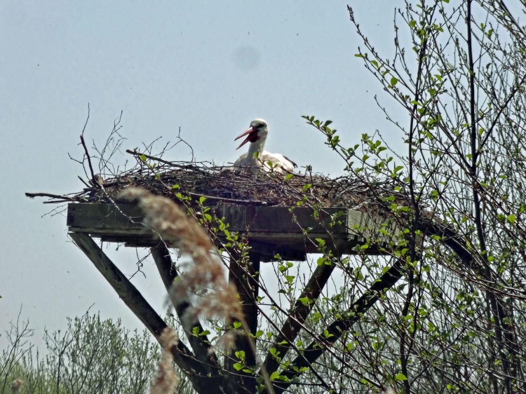 Cigogne sur son nid
